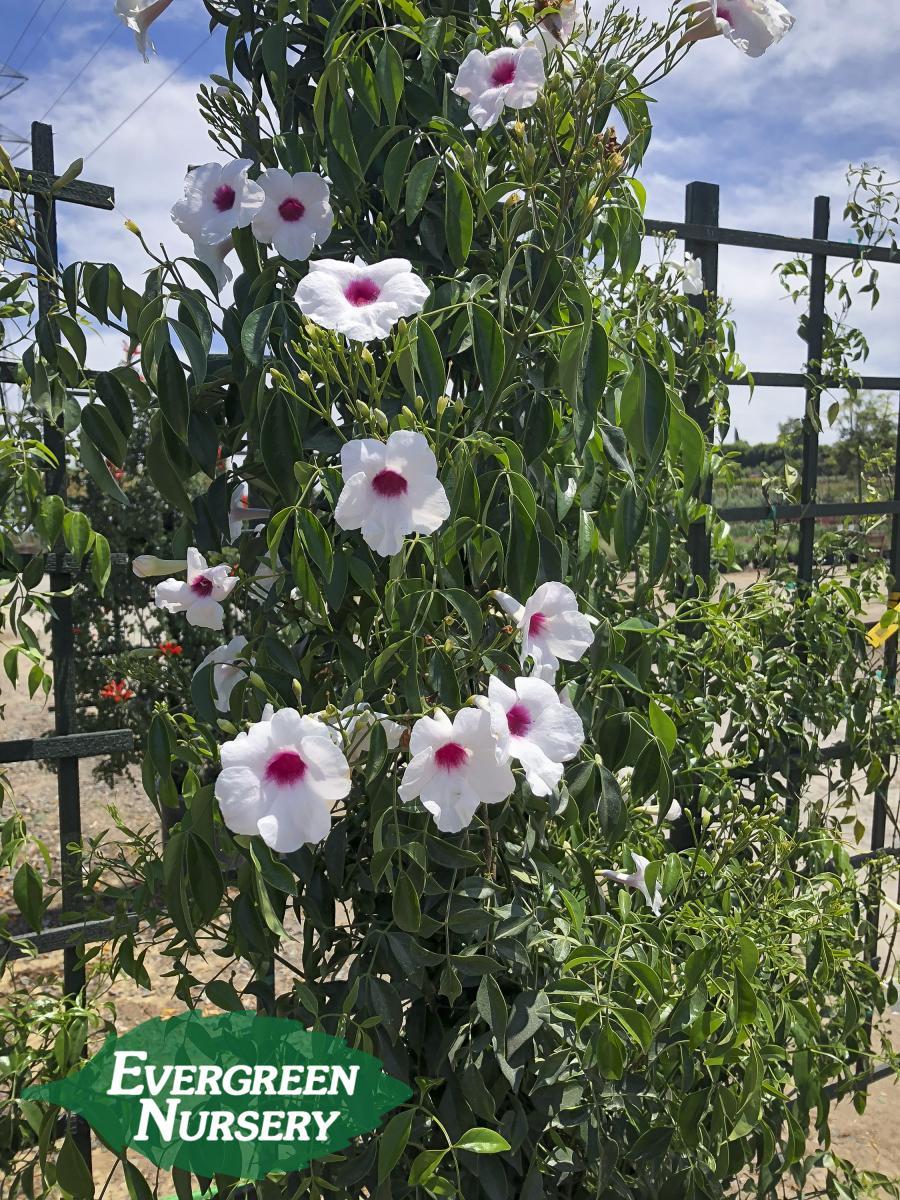 Pandorea Jasminoides Rosea Evergreen Nursery