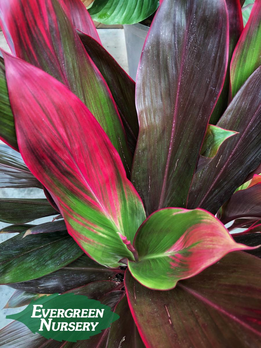 CORDYLINE fruticosa 'Tropical Red' | Evergreen Nursery on peppers red, animals red, ornamental grasses red, orchids red, berries red, cactus red, pots red, design red, nature red, mums red, flowers red,