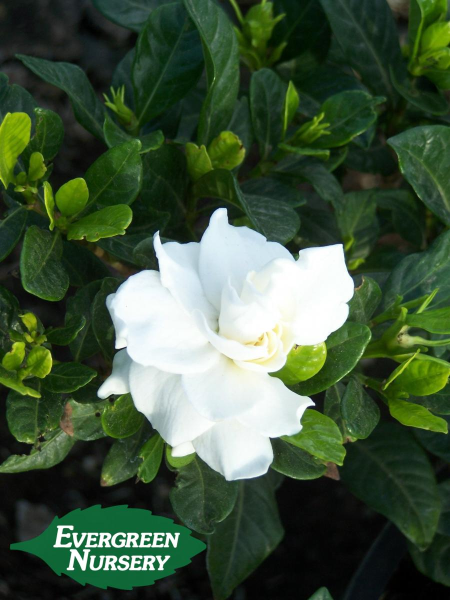 Gardenia Jasminoides Veitchii Evergreen Nursery