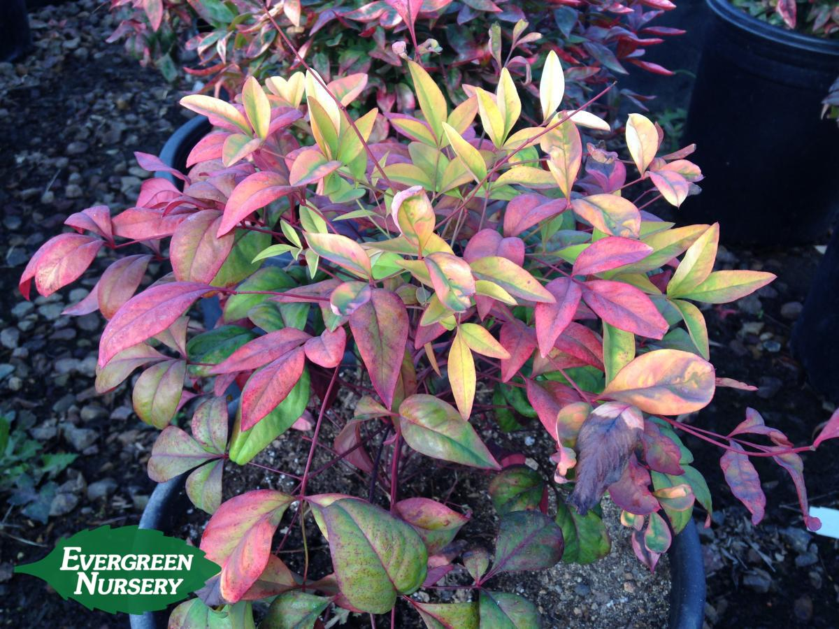Nandina Domestica Nana Evergreen Nursery