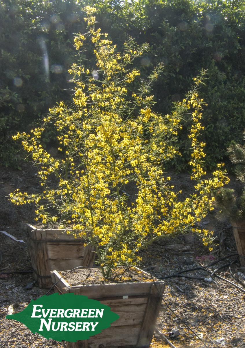 Cercidium Desert Museum Evergreen Nursery