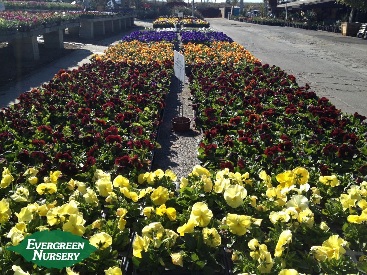 gardening tips for november 2016 evergreen nursery