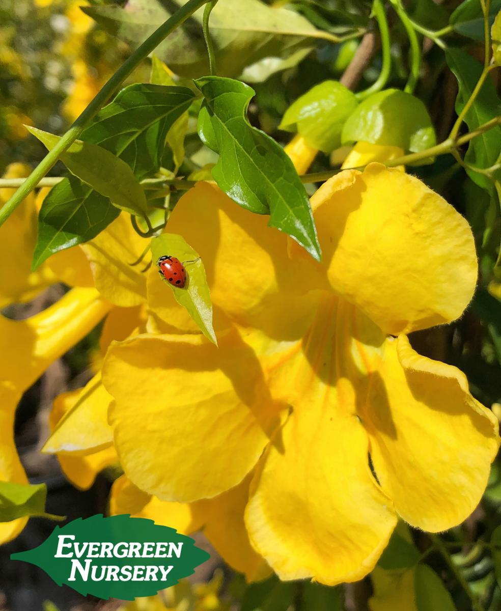 Macfadyena Unguis Cati Evergreen Nursery