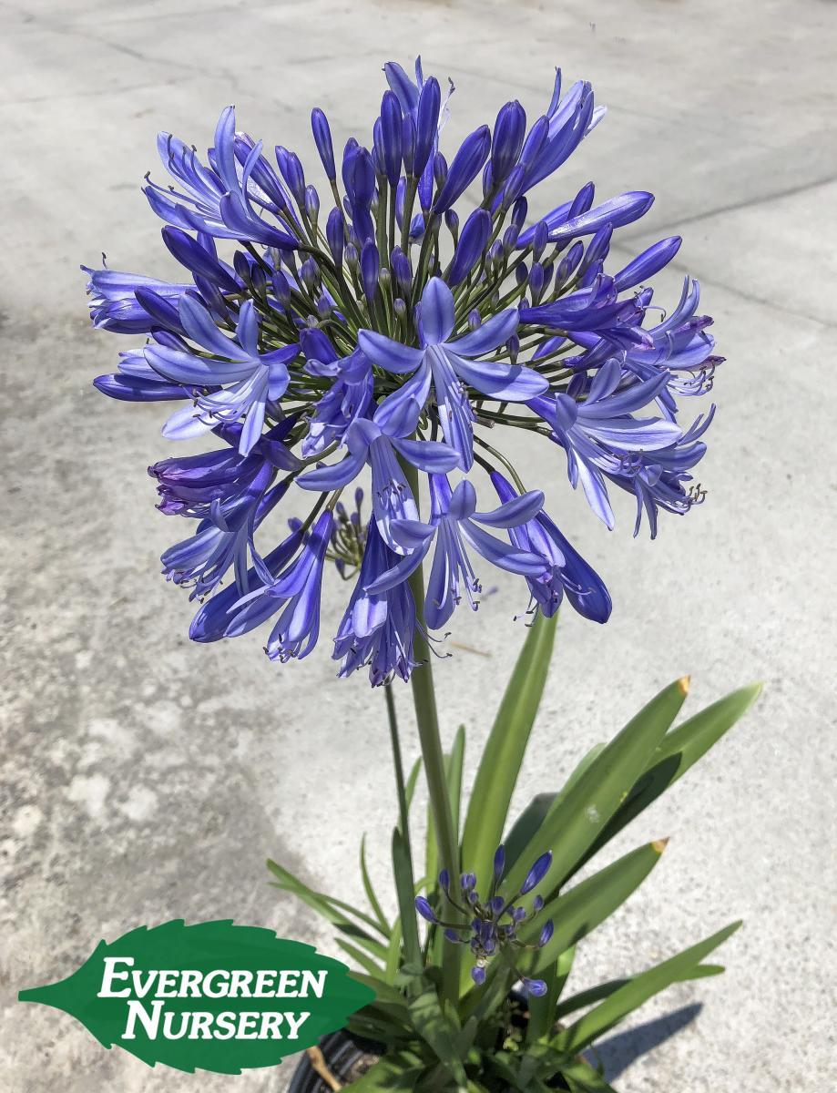 Agapanthus Africanus Blue Evergreen Nursery