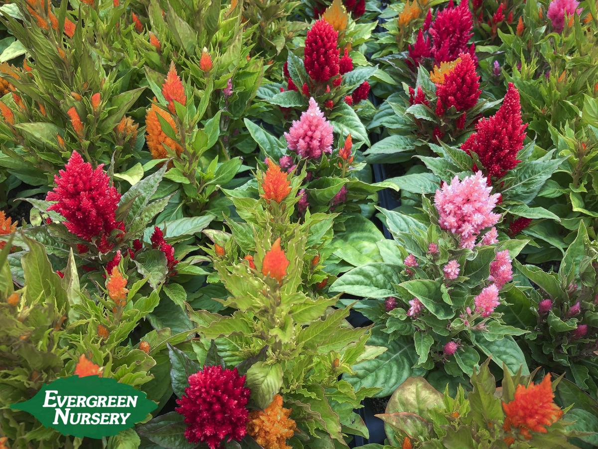 celosia mixed colors