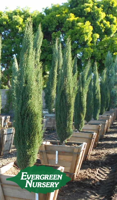 cupressus tiny towers