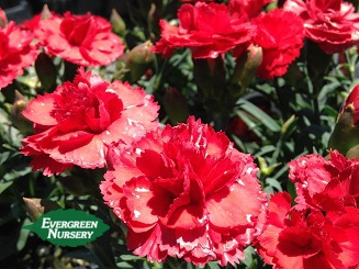 Dianthus Super Trouper Evergreen Nursery