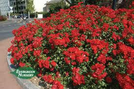 """Ground cover Roses"""