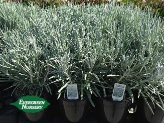 Helichrysum Icicles Evergreen Nursery