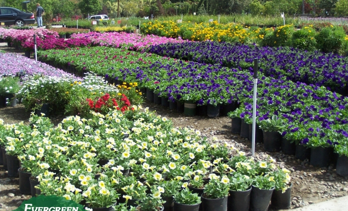 Evergreen Nursery 1 gallon plants