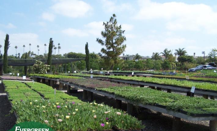 Evergreen Nursery Groundcover