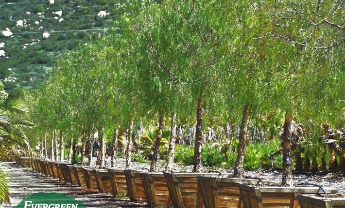 Evergreen Nursery specimen trees