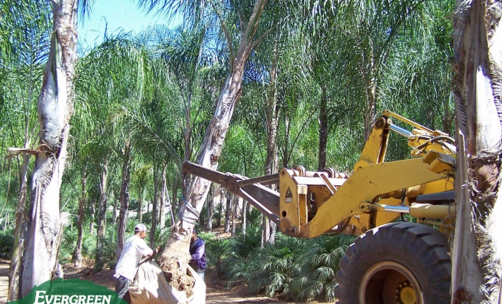 Evergreen Nursery loading palms