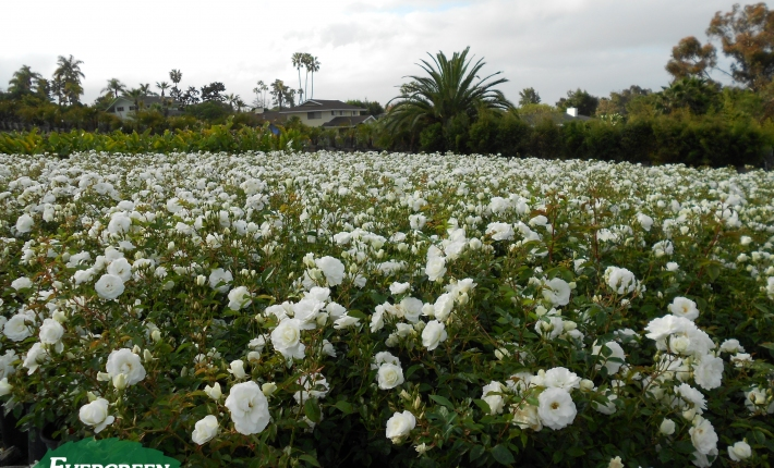 Evergreen Nursery Roses