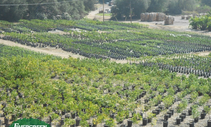 Evergreen Nursery Citrus Program