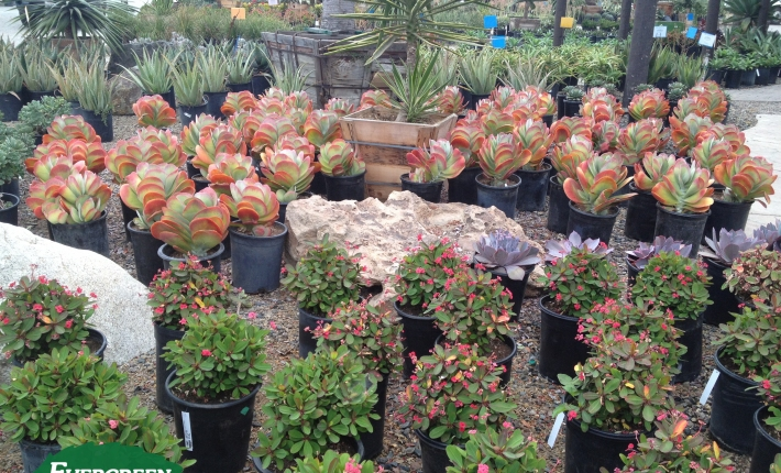 Evergreen Nursery Succulents