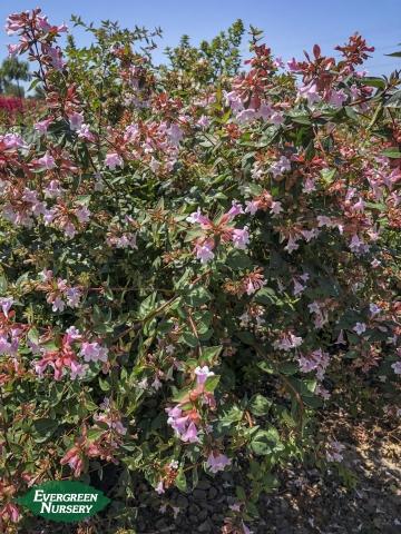 Abelia grandiflora Glossy