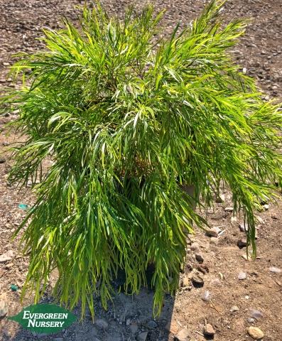 Acacia cognata Cousin Itt River Wattle