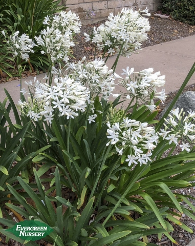 Agapanthus Getty White Evergreen Nursery