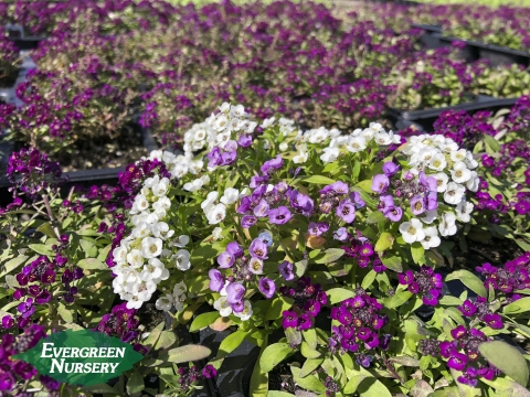 Alyssum mixed colors