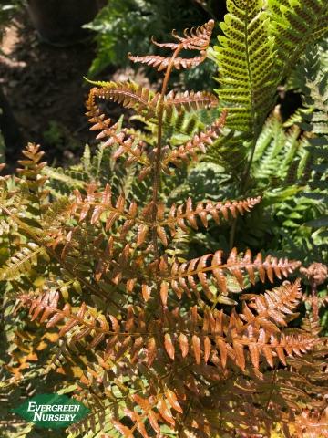 Brilliance Autumn Fern Dryopteris erythrosora