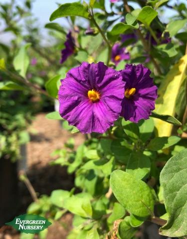 Blue Potato Bush Lycianthes rantonnetii