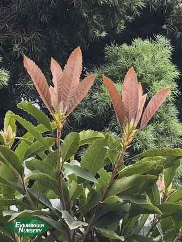 Bronze loquat new leaves