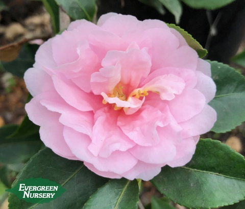 Camellia Jean May