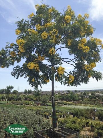Cassia leptophylla Gold Medallion