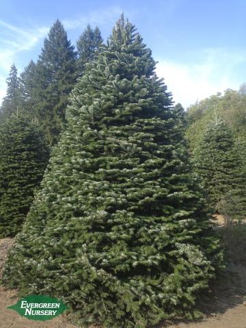 Christmas tree growing