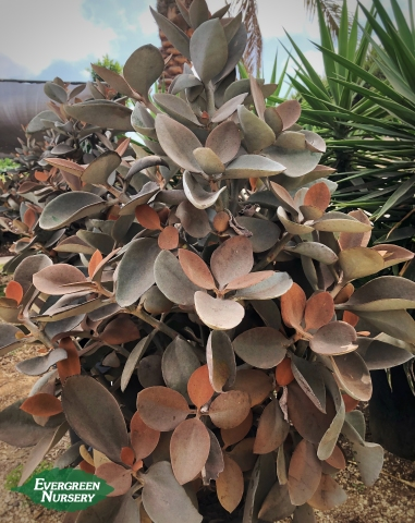 Copper Spoons kalanchoe orgyalis