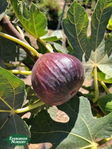 Ficus Carica Brown Turkey Fig