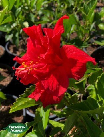 Hibiscus Red Dragon