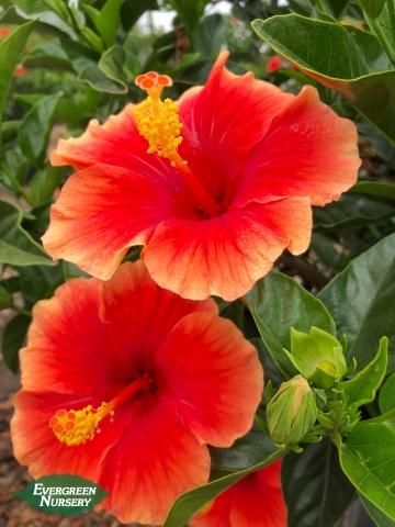 Hibiscus rosa sinensis Santana red