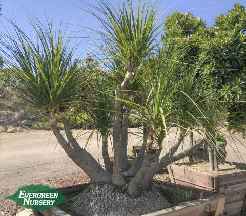Ponytail Palm Beaucarnea recurvata