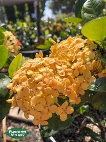Ixora coccinea 'Maui Yellow'