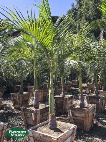 King Palm Archontophoenix cunninghamiana