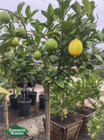 24 Hours Of Lemons >> LEMON citrus limon 'Eureka' | Evergreen Nursery