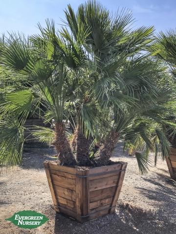Mediterranean Fan Palm Chamaerops humulis