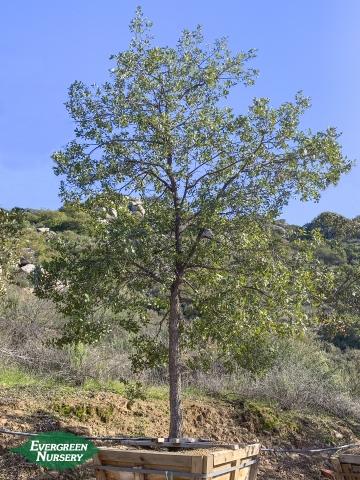 Oak Engelmann Quercus engelmannii