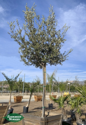 Oak Holly Quercus ilex