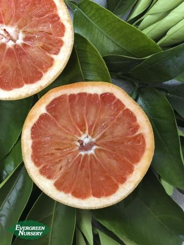 Orange Navel Cara Cara