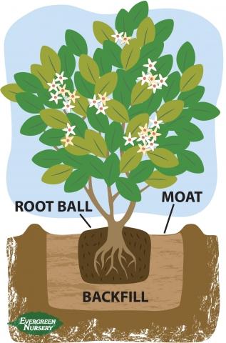 Planting diagram shrub