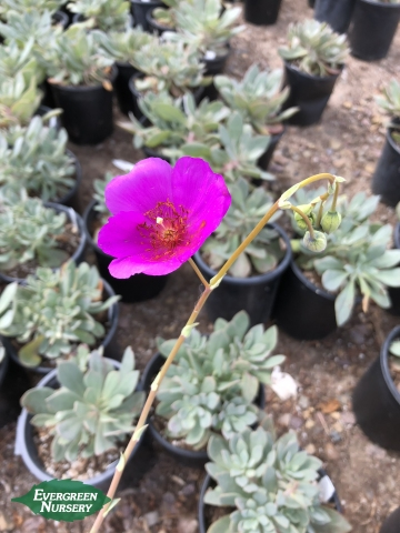 Rock Purslane flower