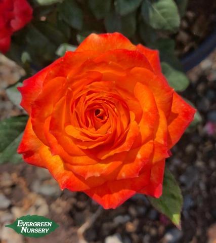 Rose Charisma