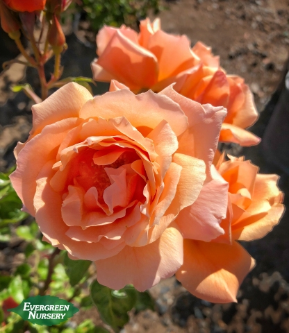 Rose Apricot Candy