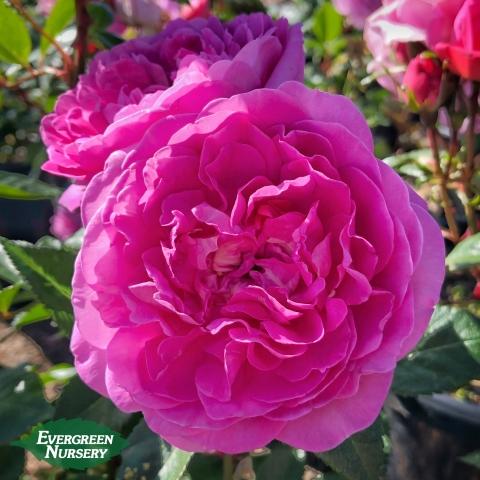 Rose Orchid Romance
