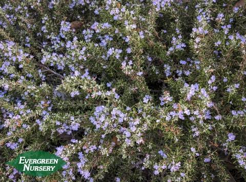 Rosemary Rosemarinus officinalis