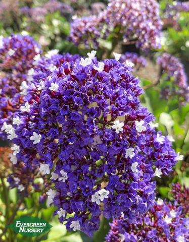 Sea Lavender limonium perezii