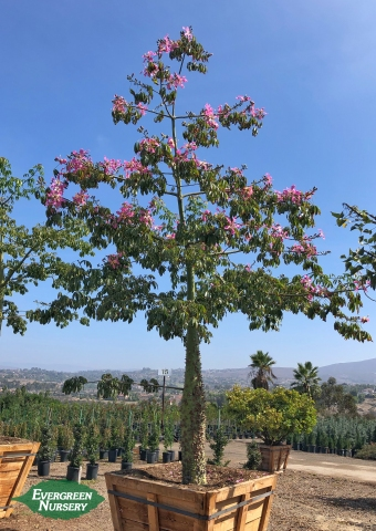 Chorisia speciosa Silk Floss Tree